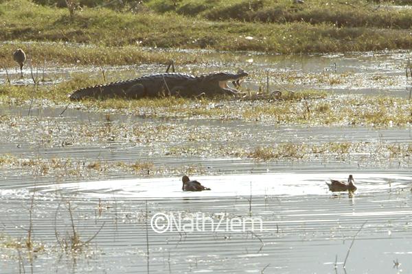 crocodile17CR