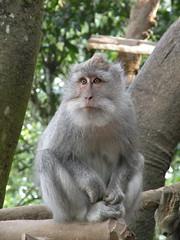 Crab-eating Macaque - Asah Globeg, Bali (twiga_swala) Tags: bali mountain indonesia island monkey queue macaco macaque longtailed longue macaca crabeating fascicularis gobleg asah javaneraffe crabier cangrejero