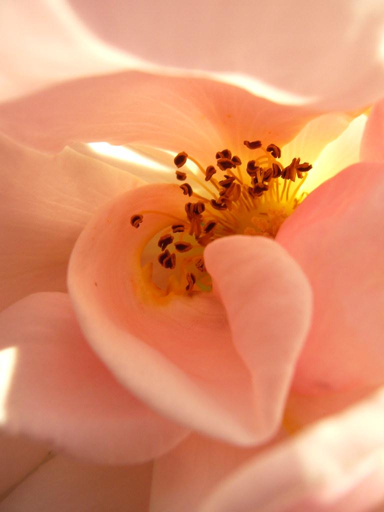 Mo's rose