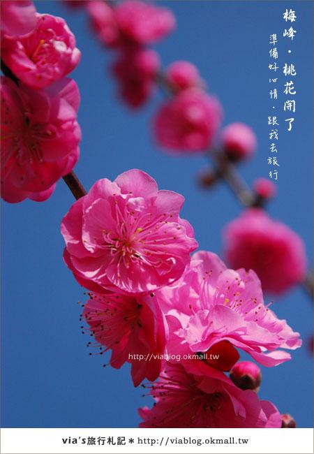 【梅峰農場桃花緣】最美的桃花隧道,就在南投梅峰這裡~(上)6