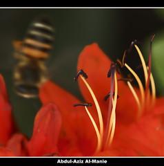 Out of Focus  (ZiZLoSs) Tags: red flower macro canon out eos focus bee usm f28 aziz ef100mmf28macrousm abdulaziz  ef100mm of 450d zizloss  canoneos450d 3aziz almanie abdulazizalmanie