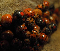Harlequin Ladybird Infestation; To Pest or not to pest, is that the question? (naturesam9) Tags: 2004 nature america europe native britain earth north 1988 ladybird species northwestern continent pest harlequin infestation coccinellidae reculver harmonia imbalance axyridis