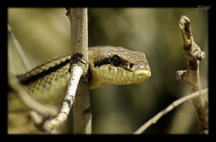 Snake /  (Zopidis Lefteris) Tags: lake nature snake hellas greece snakes allrightsreserved elaphe ellada kilkis lefteris doirani    zop elaphequatuorlineata zopidis        quatuorlineata   worldclassnaturephoto  photographerzopidislefteris     photographerzopidislefterisc c  allphotosarecopyrightedbyzopidislefteris  copyright