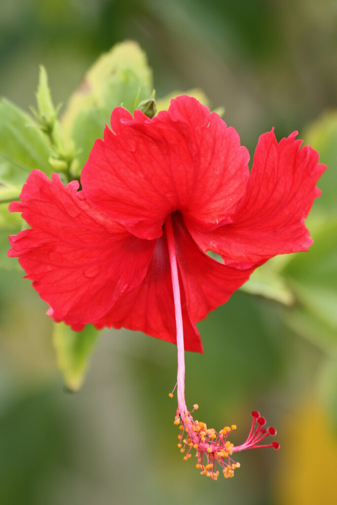 The Worlds Most Recently Posted Photos Of Hibiscus And Panama