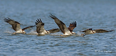 A Great Day To Be An Osprey! (Finiky) Tags: nature nikon wildlife raptor finiky nikkor osprey pandionhaliaetus kundalini nikond3 600mmf4afsii maosprey popsosprey maleadultopsrey osprey2010