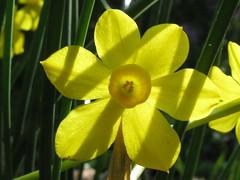 Narcissus Jonquilla 'Simplex' (Tie Guy II) Tags: flower yellow bulb garden spring april narcissus jonquila