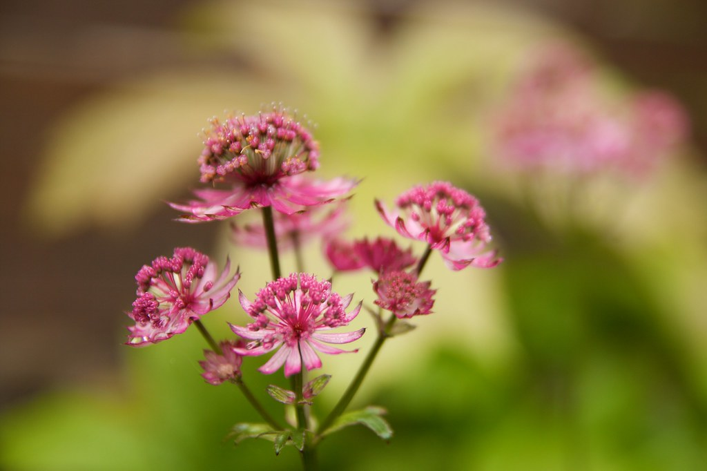 astrantia major star of beauty  267