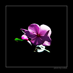 lonely flower [explored] (e.nhan) Tags: pink flowers light black flower art nature leaves closeup landscape spring colorful colours shadows dof bokeh arts backlighting enhan galleryoffantasticshots