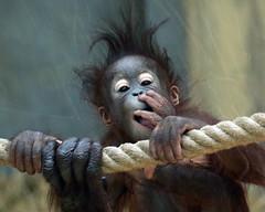 orangutan Ouwehands JN6A9523 (j.a.kok) Tags: orangutan orangoetan orang ouwehands ouwehandsdierenpark ouwehandszoo mammal zoogdier primaat primate ape aap monkey sumatra borneo mensaap sabbar juwel