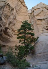 Life on-the-rocks (Lena and Igor) Tags: travel america us usa newmexico plazablanca canyon life vegetation tree pine rocks scenic nature landscape dslr nikon d7000 nikkor 18300 southwest fourcorners