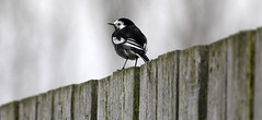 Pied Wagtail (maf863) Tags: pied wagtail happyfencefriday fens fence canon700d 700d canon sigma150600 sigma wwt welney welneywwt bird wildlife