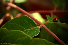 little.. (Ðоиs) Tags: verde foglie little ladybug dons coccinella 1000d