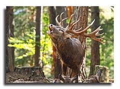 berrea del ciervo 2 (kunka (Atrapado por el lado oscuro)) Tags: naturaleza huesca aragon pirineos ciervo fiatlux berrea cuniacha kunka estremit atomicaward