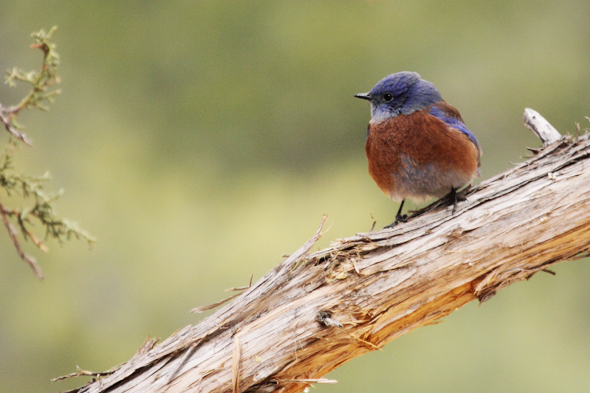 101609_westernBluebird