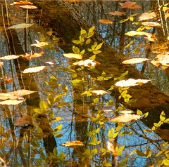 Fall Floating Leaves (Stanley Zimny (Thank You for 16 Million views)) Tags: park autumn trees reflection tree fall nature colors leaves automne catchycolors garden botanical mirror leaf colorful colours seasons natural fallcolors nj autumncolors fourseasons reflexions autumnal colorexplosion 4seasons skylands