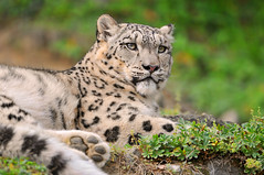 Relaxed indeever among the plants (Tambako the Jaguar) Tags: wild cute male cat zoo switzerland big nikon feline zurich kitty fluffy resting zrich lying snowleopard d300 schneeleopard snowkitty uncia panthredesneiges