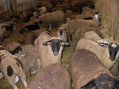 Sale barn lambs