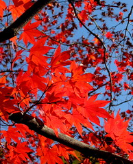 Japanese Autumn (Puzzler4879) Tags: nature fallfoliage japanesemaple redleaves naturesfinest bej a580 canona580 canonpowershota580 powershota580 universeofnature naturescarousel unicornawards
