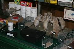 2009-11-23-PARIS-dead-rats1