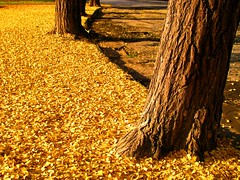 Golden carpet alle Cascine (fiumeazzurro) Tags: chapeau firenze toscana photographia mywinners aplusphoto imagesforthelittleprince lamiciziafaladifferenza theauthorsplaza authorsclub