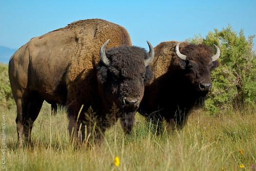 Buffalo - Him & Her