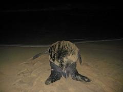 leatherback sea turtle (ABC Dolphin Trainer Academy) Tags: mexico seaturtle puertoescondido leatherbackseaturtle seaturtlerelease seaturtlehatchery seaturtlenesting
