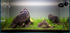 90x45x45cm Day 23 (Stu Worrall Photography) Tags: red fish nature rock cherry aquarium ada tank stu shrimp hc peninsular planted llyn braceless worrall tennelus hairgrass stuworrall iwagumi optiwhite ukaps ukapsorg
