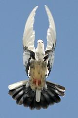 [フリー画像] [動物写真] [鳥類] [野鳥] [鳩/ハト]       [フリー素材]