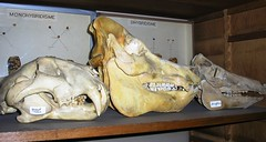 Panthera tigris, Sus domesticus, Sus scrofa (JC-Osteo) Tags: skulls skeleton skull teeth tiger os collection esqueleto bones bone skeletons fangs ram cochon boar tigre sus fang racine porc crne fauve wildboar sanglier panthera pantheratigris skelett lyce squelette scheletri scheletro susscrofa osteology squelettes susdomesticus lyceracine ostologie jctheil