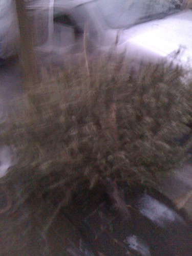 Sad Christmas tree waiting to be recycled