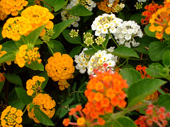 Sue Sghar (Fotografy86) Tags: flowers lebanon sony cybershot لبنان h9 hadath dsch9 lebaneseuniversity