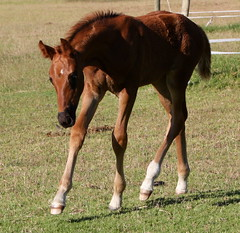 Do you play with me? (neulands) Tags: horses cheval pferde foal foals warmblood fohlen missdior neulandstud