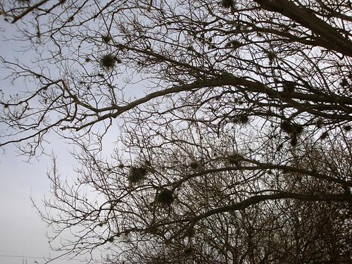Bastrop_mossytree