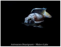 Aulonacara Stuartgranti_800_01 (Bruno Cortada) Tags: malawi marino mbunas cclidos sudafricanos tanganyica