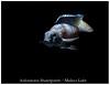 Aulonacara Stuartgranti_800_01 (Bruno Cortada) Tags: malawi marino mbunas cíclidos sudafricanos tanganyica