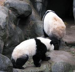 follow the leader (bob2cleo) Tags: bear cub panda endangered za zooatlanta xman 2410 xilan