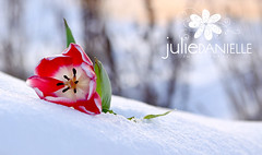 26/365: Flowers, Snow and a bit of Sun (Julie Danielle) Tags: flower tulips bokeh project365 hbw 365project