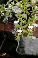 Epidendrum stamfordianum v album - Origin Mexico to Venezuela C20100213 064 (fotoproze) Tags: canada orchids quebec montreal orchidee orqudeas orchideje orchides 2010 anggrek orchideen   orkide jardinbotaniquedemontreal montrealbotanicalgardens hoalan storczyki orchideen  orhidee  orkideer orqudies orkideat brnugrs orhideje  orkider orkideak orchidey   orchids  orchidek magairln  tegeirianau