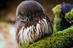 """Tiny owl (""""Mike Foster"""") Tags: owl muncastercastle worldowlcentre luxtop100"""