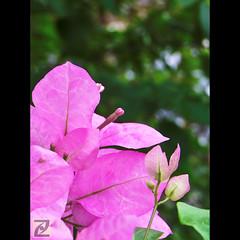 Thank You All (tlchua99) Tags: pink flower bougainvillea fujifilm s100fs