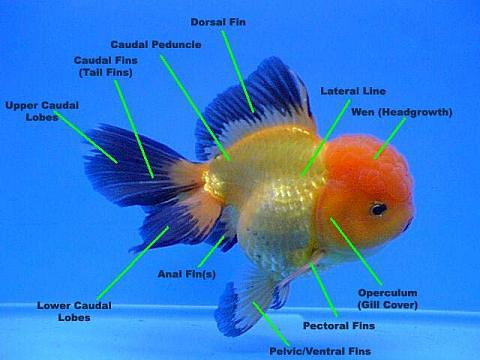 Anatomi Ikan Koki