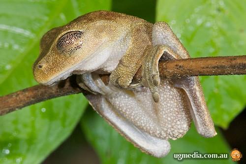 Australian lacelid (Nyctimystes dayi)