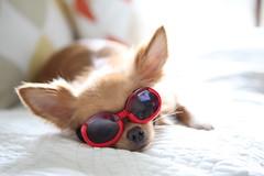 Goggle (20EURO) Tags: red chihuahua cute dogs sunglasses animals mexico spring beige uv bored boring sofa smalldog lovely goggle arles ultraviolet   longcoat            chihuahualong beverlyhillschihuahua