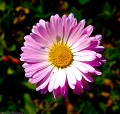 (Konstantinos Vasiliadis) Tags: pink flowers light green nature yellow leaf colours purple ground olympus greece 1745  e420      melissohori