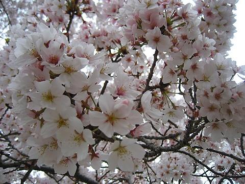 錦帯橋 花見10