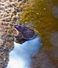 _DSC1530.jpg (aeschylus18917) Tags: thailand zoo nikon frog toad chiangmai txt edit pxt 80400mmf4556dvr chiangmaizoo   d700  ratchaanachakthai nikond700 danielruyle aeschylus18917 danruyle druyle