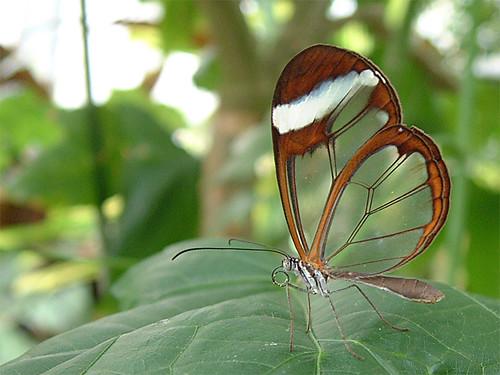 透明蝴蝶01