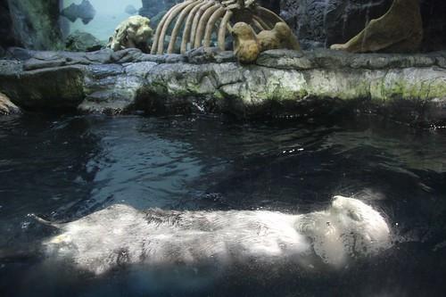 Sea otter,Enhydra lutris