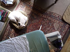 Helping with the ironing (danellemac) Tags: uk sleeping england love lily housework napping bullterrier ironing englishbullterrier lazyweekend