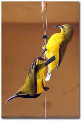 Sunbird Pair (gecko47) Tags: bird birds yellow pair olive deck queensland honeyeater townsville nesting sunbird nectoriniajugularis yellowbelliedsunbird nectareater